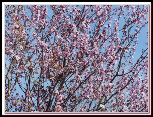 Prunus de Didier